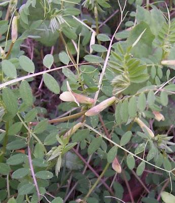 Vicia hybrida, haba falsa, hairy yellow vetch, Veccia pelosa, vesce hybride