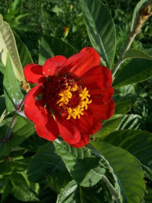 Zinnia elegans, Youth And Old Age, Zinnia