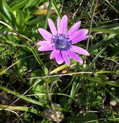 Anemone hortensis, Anemone fior-stella, Broad Leaved Anemone