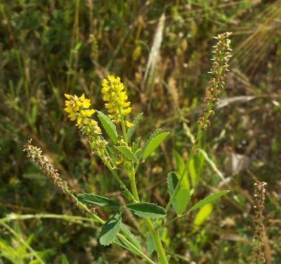 Melilotus indica, anafe-menor, Kleinblütiger Steinklee, Meliloto d'India, mélilot à petites fleurs, sourclover, trébol de olor