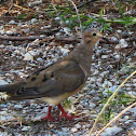 Mourning Dove (Turtle Dove)