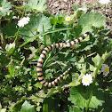 Banded sand snake