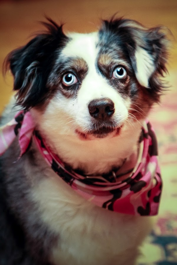 BlueBelle by Mitch Lassiter - Animals - Dogs Portraits ( blue, blue eyes, belle, dog )