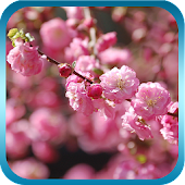 Peach Blossom Live Wallpaper