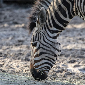 Stripes by Jared Lantzman - Animals Other Mammals ( face, maine, grazing, hay, eating, zebra, stripes, soil,  )