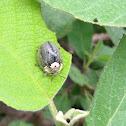 Wild Olive Tortoise Beetle