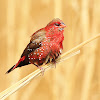 Red avadavat - Male