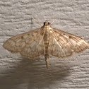 Bold Feathered Grass Moth