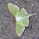 North American Luna Moth