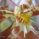 Orquídea de Bogotá (Orchid of Bogotá)