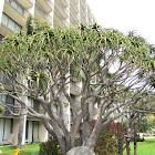Tree Aloe