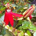 Crimson Passionflower