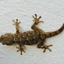 moorish ghecko