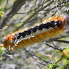 Cape Lappet Moth Caterpillar