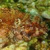 Red scorpionfish. Cabracho
