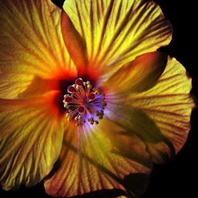 by Sarah Poirier - Flowers Single Flower ( flower hibiscus yellow,  )