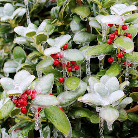 Holly Berries In The Ice by Sona Decker - Nature Up Close Trees & Bushes (  )
