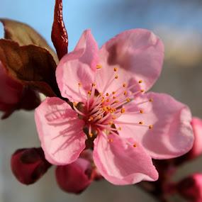 Cherry Blossom by Camelia Cami - Flowers Tree Blossoms ( tree, pink, spring, flower, blossom )