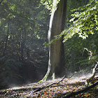 European Beech woods