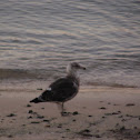 Kelp Gull (Karoro)