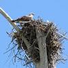 Ospreys nesting