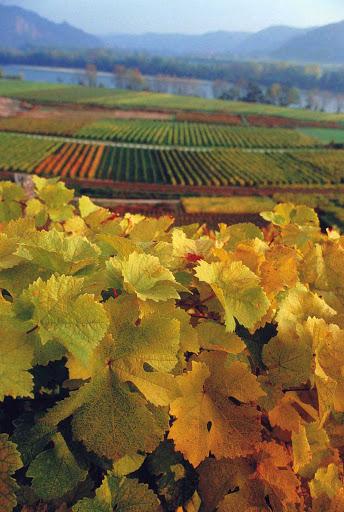 Vineyards near Duernstein, Austria.