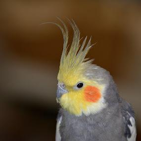 Cockatiel by Ed Hanson - Animals Birds ( bird, orange, nature, yellow, gray )