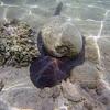Giant Baler Shell or Diadem Volute