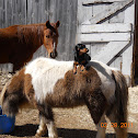 Anglo Arab,Shetland Pony and Domestic Dog