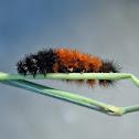 Banded Woollybear Caterpillar