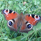 Peacock Butterfly (European)