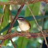 Pula-pula-ribeirinho (Neotropical River Warbler)