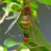 Green Ant Queen with Wings
