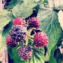 Black Raspberry, Blue Raspberry