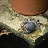 cangrejo - blue land crab