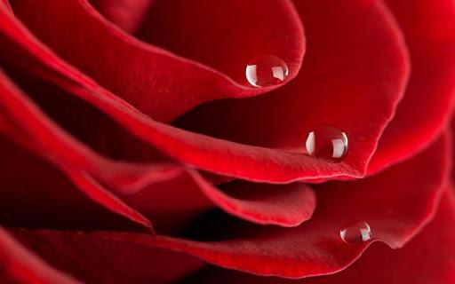 玫瑰高清壁紙