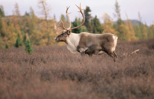 caribou-Quebec - Travel in Nunavik to take in the great outdoors of northern Quebec Ñ and an occasional caribou.