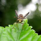 Common Social Wasp