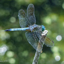 Blue dasher (males)