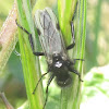 White-Winged March Fly