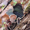 False turkey tail