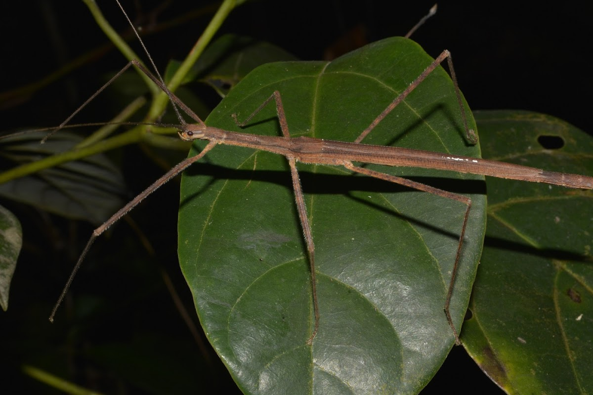 Stick Insect - Female