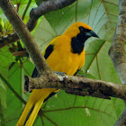 Yellow tailed Oriole
