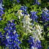 White Texas Bluebonnet (mutant)