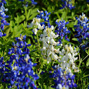 White Texas Bluebonnet (mutant)