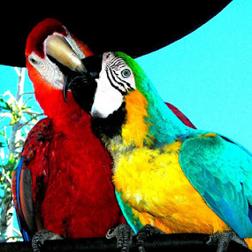Lovers, Lovers  by Christopher Charlton - Animals Birds ( love, animals, color, birds )