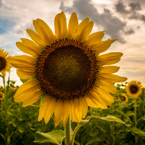 Heart of Darkness by Barry Blaisdell - Flowers Flowers in the Wild ( clouds, sunset, sunflower, flower photography, flower,  )