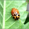 Variable Ladybird Beetles (Mating)