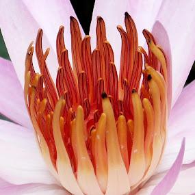 Lotus Close Up by Vaibhav Shende - Flowers Single Flower ( lotus, beautiful lotus, pink lotus, lotus close up, lotus flower,  )