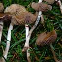 Psilocybe cyanescens (Edge Runners, Wavy Caps)